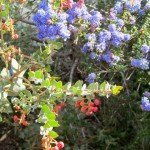 Two favorite native plants on our former lawn - Dark Star ceanothus (California lilac) and Lester Rountree Manzanita