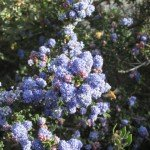 Our Dark Star ceanothus (California lilac) attracts both European honeybees and many smaller native bees