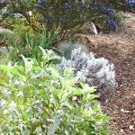 Our California brittlebush (Encelia Californica) and saffron buckwheat (Erigonium crocatum) should bloom next month but meanwhile, provide nice color contrasts