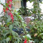 Fuchsia-flowering gooseberry (Ribes speciosum) does great in our part-shade backyard, and hummingbirds love it
