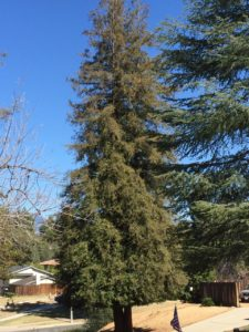 This redwood on property that has no supplemental water is browning at the top, a sign of drought stress