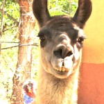 One of two llama sisters at artist Ann Bingham-Freeman where we do live model drawing