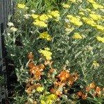 Yarrow (hybrid, native flower is white) and Desert Mallow