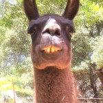 Sister llama Santita at Ann Bingham-Freemans - They do have personalities don't they?