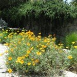 California Poppies, Trailing Rosemary in background