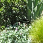 Cobb Mtn lupine, Coffeeberry, Mr. Ripple Agave and Mexican feather grass