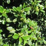 Coffeeberry with bee