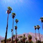 Palms on a hot June day in Borrego Springs. I'm amazed they survive on  an average 6 inches of rain annually.