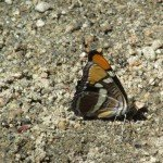 Lorquin's Admiral (side view)