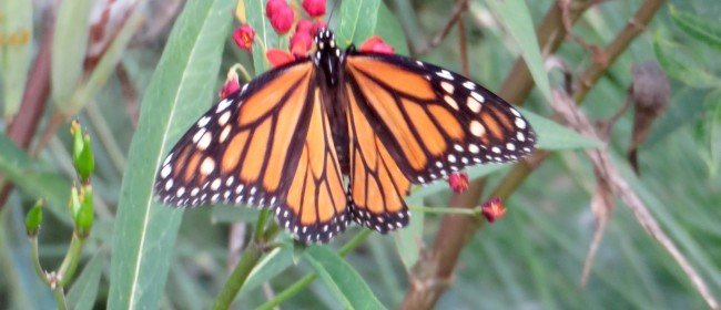 Milkweed and Monarchs – Finally!