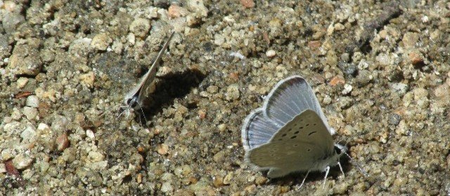 Now's the time to see butterflies – and what's better than a 'puddle party'