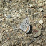 the common side view of the common Acmon Blue