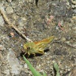 Some type of Skipper - the body was quite green so not sure - Fiery Skipper?