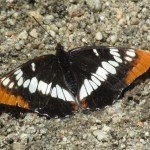 Lorquin's Admiral is known to chase other butterflies and birds too