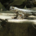 One of the many Blue-bellied (I think ) lizards on our property. There's a new crop of two inch babies.