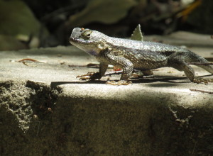 Western Fence Lizard doing his pushups for me