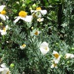 Matilija Poppy with 'fried egg' flower