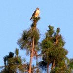 This red-tailed hawk (and a Cooper's hawk) frequent our property