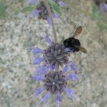 Carpenter bee on sage flower - likely Foothill variety...