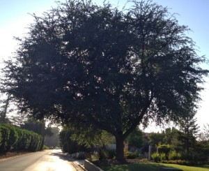 This tree next door to the poor example was pruned <10% one year ago - looks great