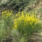 Spanish broom is beautiful but invasive