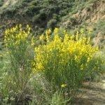 Spanish broom is beautiful but invasive