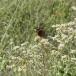 Red Admiral taking a buckwheat break from the mating chase