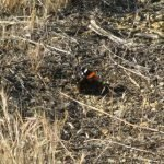 Red Admiral closing up its wings to become camouflaged