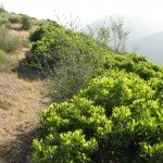 Manzanita Stands - a favorite native plant