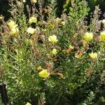 California evening primrose (oenothera californica)