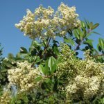 Toyon blooms attracting bees  (we get to enjoy the red berries in winter)