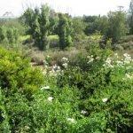 Matilija poppies & the grass meadow below