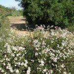 California Buckwheat aside the trail