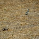 Birds Aplenty - Mourning Dove & Scrub Jay both foraging