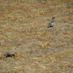 Birds Aplenty - Mourning Dove & Scrub Jay both foraging