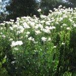 Matilija Poppies ('fried egg flower') bloom through the summer