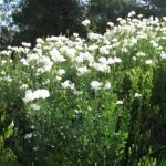 Matilija Poppies ('fried egg flower') bloom through the summer