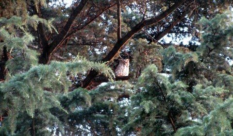 Watching Baby Great Horned Owls Fledge