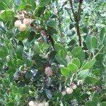 Manzanita and berries in June