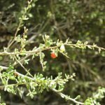Desert wolfberry berry - good for people and birds