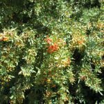 Nevins barberry berries have qualities similar to oregon grape (same family)
