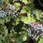 The root of oregon grape has antiamoebic qualities