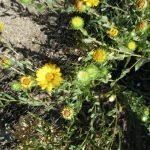 Gumweed with flowers and white sap
