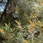 Tea from pinion pine's fresh tips - high Vitamin C