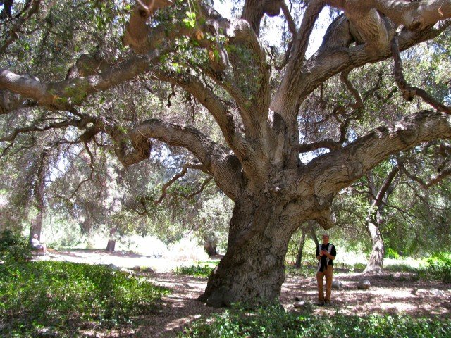Oak at Rancho Santa Ana Botanic Garden (Claremont CA)