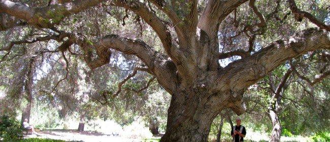 Taking Care of Our California Native Oaks