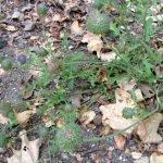 Chia (salvia columbariae) berries are very nutritious