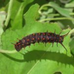 Pipevine Swallowtail caterpillar (4th stage) on it larval food plant (Calif. Dutchman's Pipe) at RSABG
