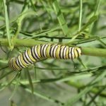 Monarch caterpillar on its host plant, milkweed