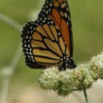 Monarch sipping buckwheat nectar
